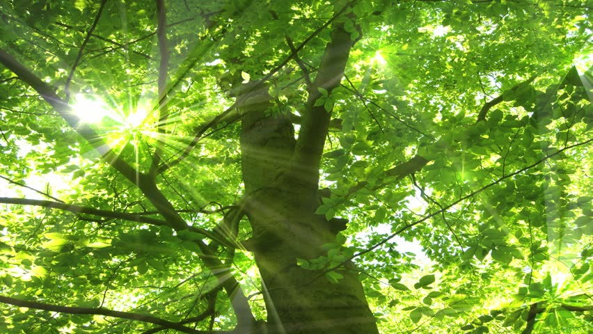 A beautiful tree with spring-green life foliage basking in radiant sunlight :Seamless looping clip.