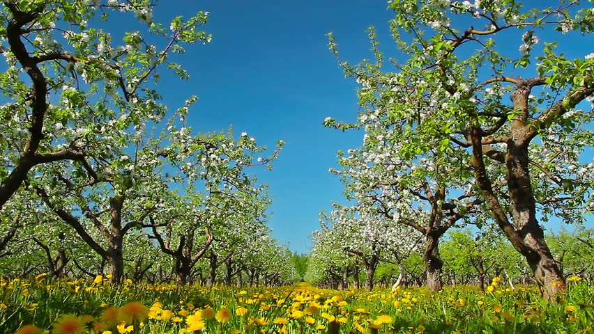 blossoming apple orchard, shooting slider #5162195