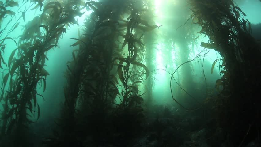 Giant kelp (Macrocystis pyrifera) grows up towards the surface of Monterey Bay, California. This fast growing algae dominates the temperate marine ecosystem from Alaska to Baja.