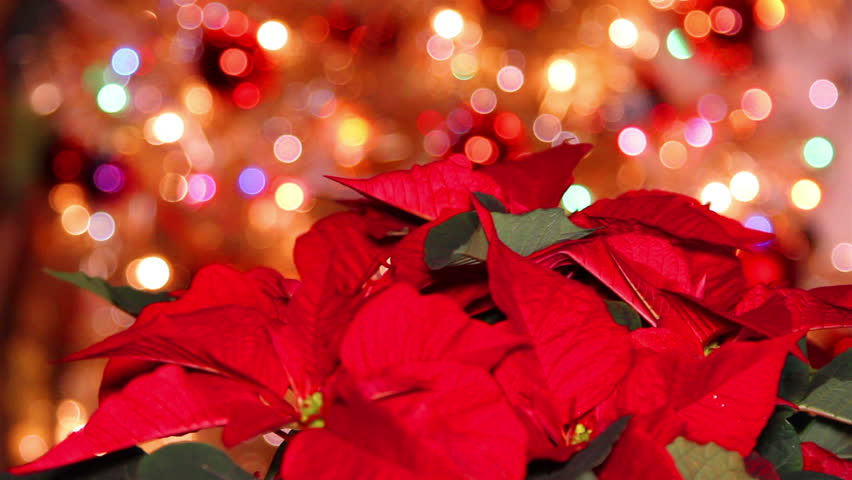 Red Poinsettia or Christmas flower with light effects and decoration in the background | Shutterstock HD Video #5211677