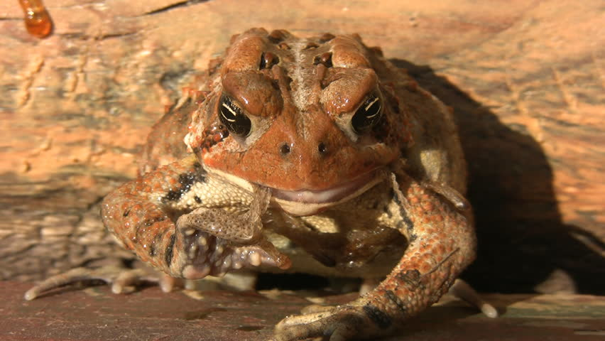 Shot of 'American Toad' shedding and eating its own skin. It gags halfway through the clip. Muskoka, Ontario, Canada.