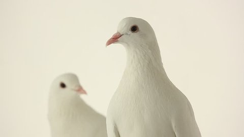 two  dove on a white background