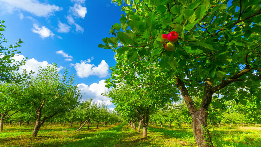 apple orchard with ripe apples, 4K timelapse