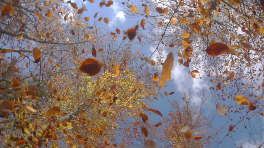 SLOW MOTION: falling leaves in forest