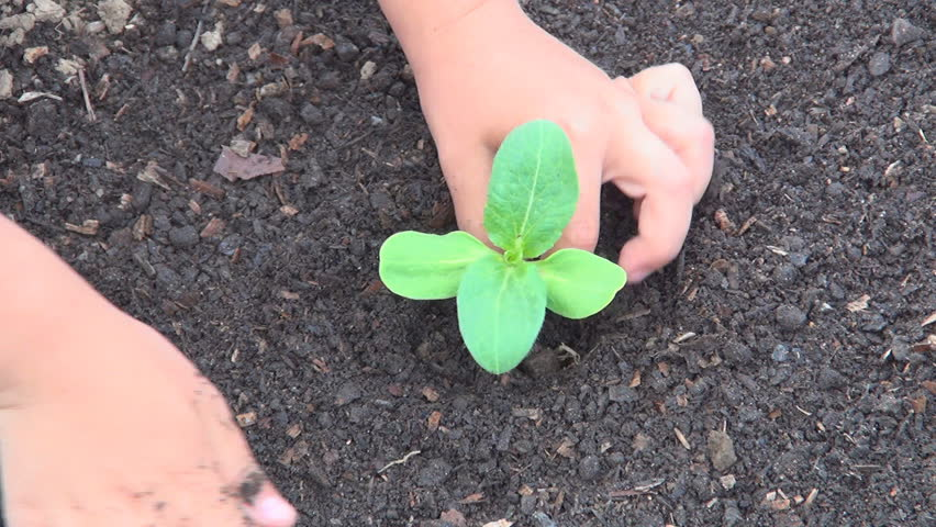 Child Hands Planting a Seed in Ground, Seedling Vegetables in Field, Agriculture
