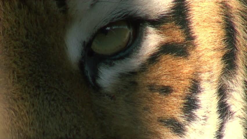 eye of tiger #5314463