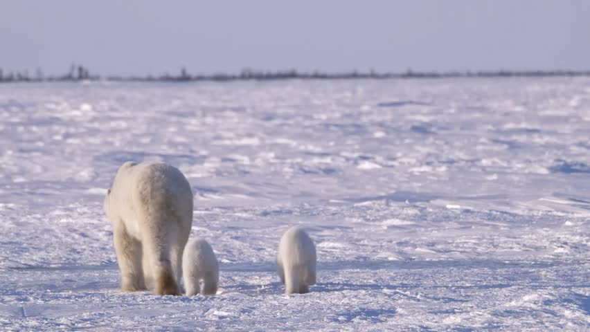 A polar bear walking through arctic landscape with her cubs.