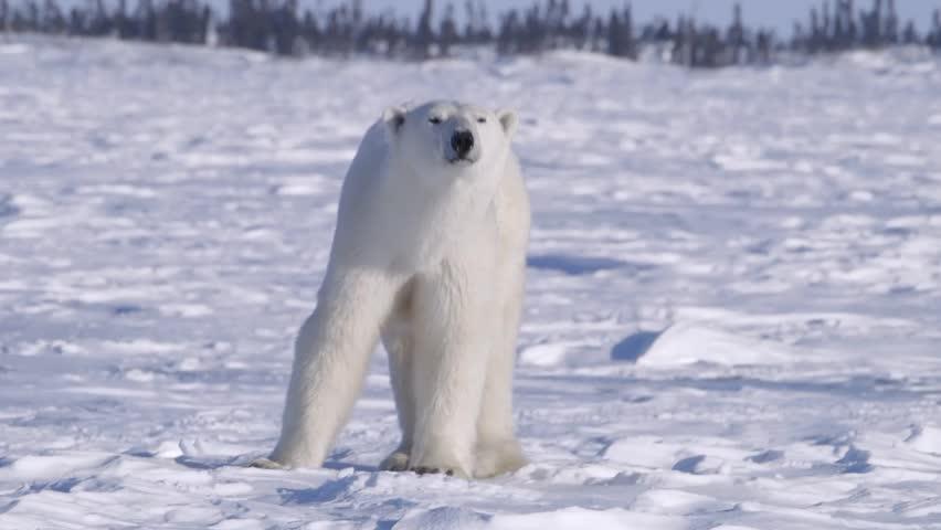 Polar bear walking through an arctic landscape.
