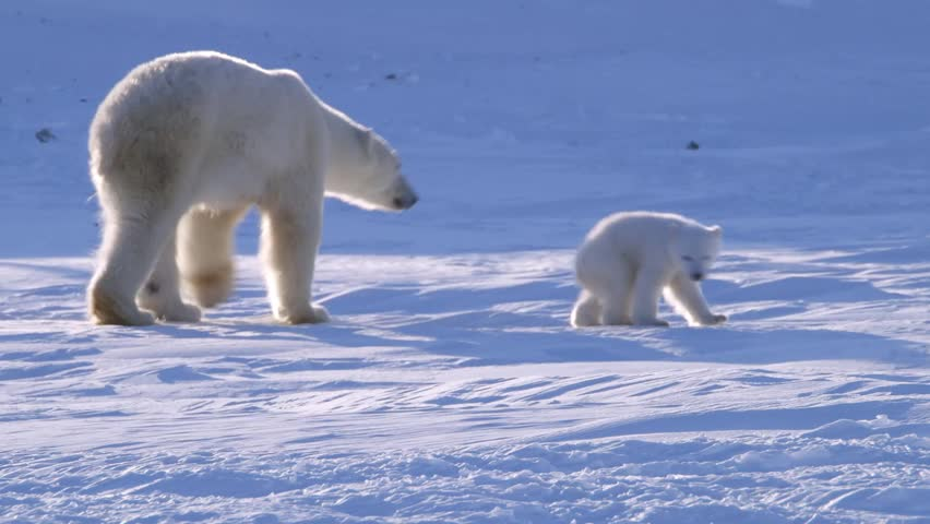A polar bear walking through a hilly arctic landscape with her cubs.
