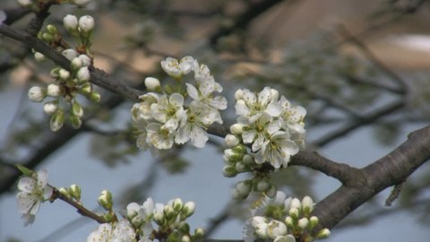 Close up of a branch of blooming wild apple tree