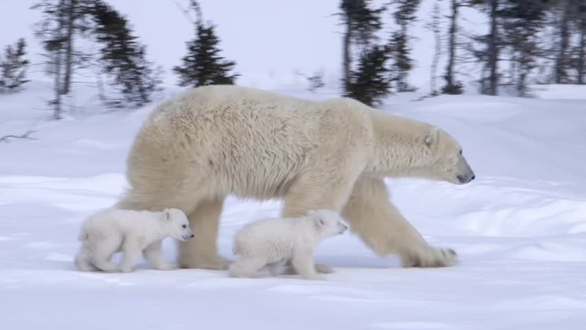 Pair of polar bear cubs walking with their mother. | Shutterstock HD Video #5370035