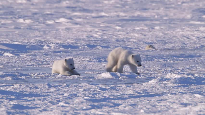 A polar bear cubs walking through icy arctic landscape.
