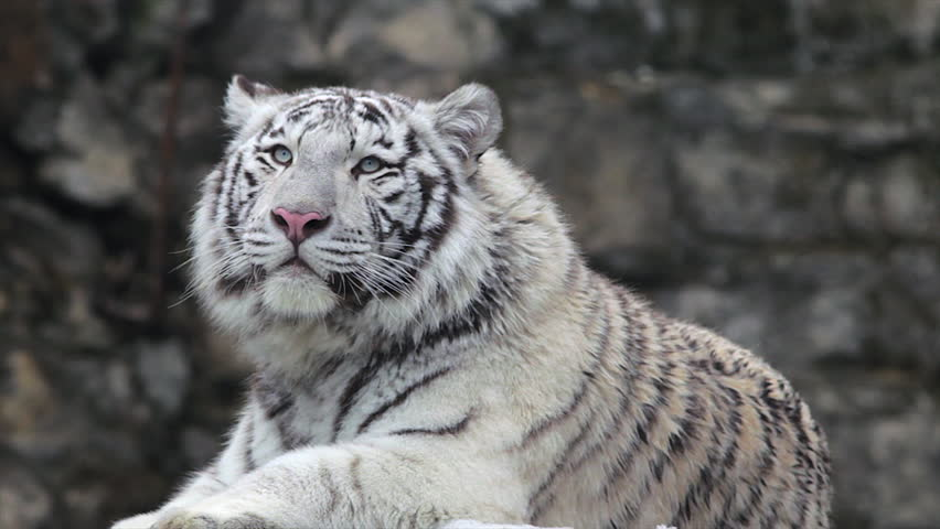 A young bengal tiger male, lying and roaring on cold air. The most beautiful animal and very dangerous beast of the world. Animal portrait of a white tiger.  #5386943