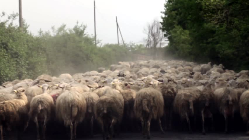 Video clip of sheep herd on country street.