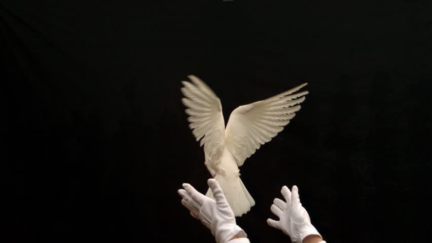 Magician releasing a white dove on black background in slow motion