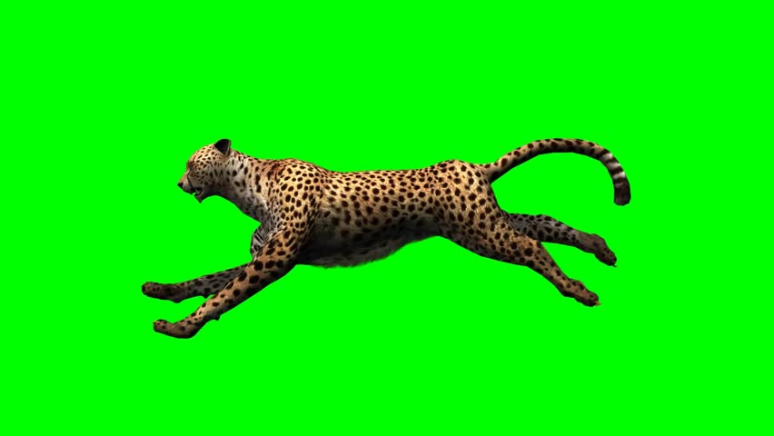 Cheetah run - seperated on green screen