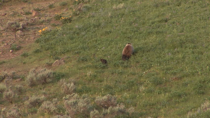Grizzly with cubs playing, Yellowstone National Park #54415