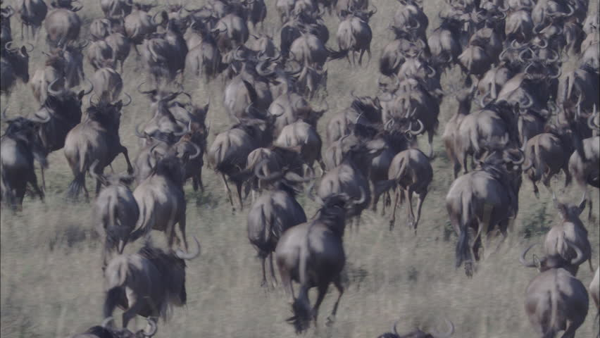 Wildebeest Grassy Savanna Migration. An incredible up close and personal look at a herd of wildebeest in Africa. The scene captures the powerful creatures running through the savannas of the region.