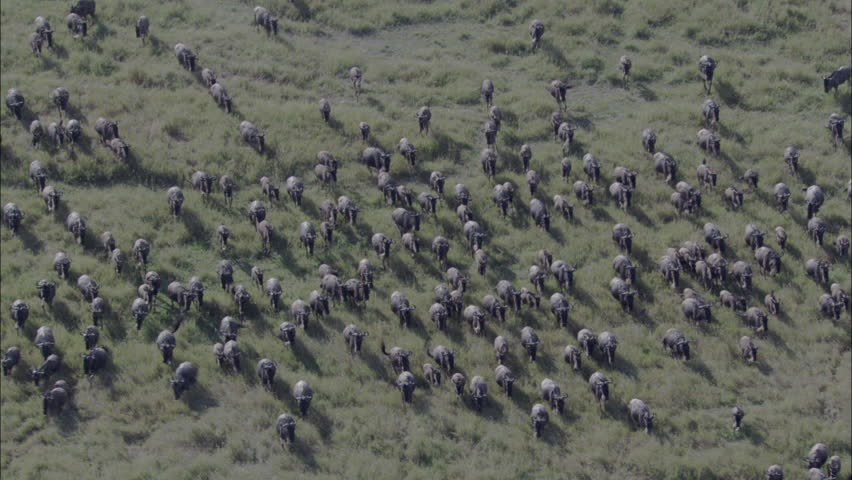 Wildebeest Herd Migration. A skying look over a large herd of wildebeest. An incredible depiction of the wildebeest running through the pastures.