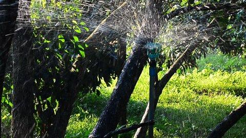 water sprinkler, longan tree