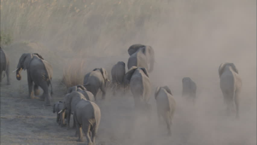 Wildlife Migration Elephants Herd. A birds eye view of a herd of elephants migrating through a desolate landscape. The shot takes up close and personal look at a large heard of majestic elephants.