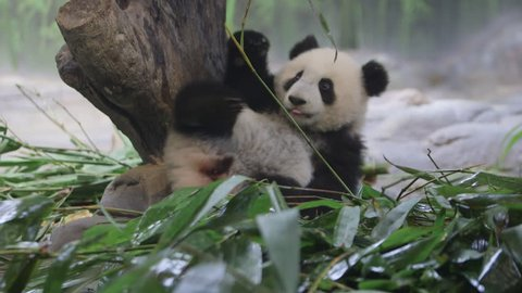 six-months-old panda.She was born in Chimelong Panda Center,one of the the best panda zoos in the world.She is living with her mother.