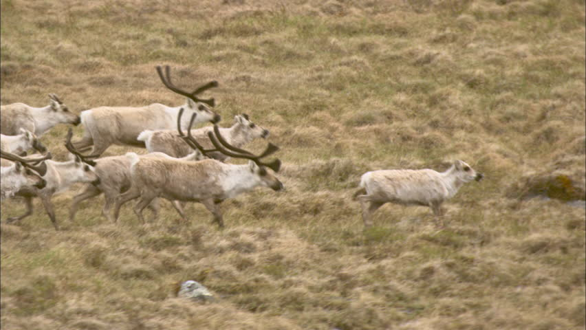 Tundra Group Caribou. A large group of caribou are making their way across the tundra.