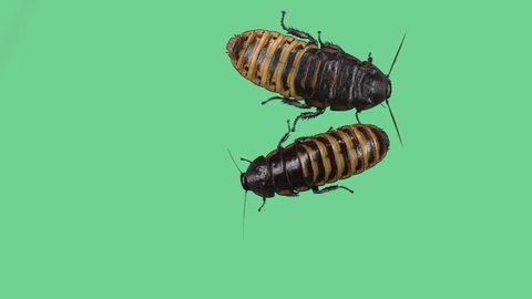 Two Madagascar hissing cockroaches one extra big on green screen