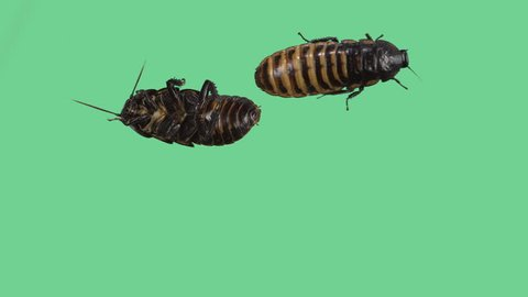 Two Madagascar hissing cockroaches on green screen one turned up and one down