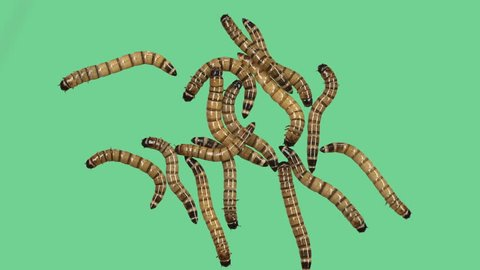 Zophobas or Superworm many on green screen center position