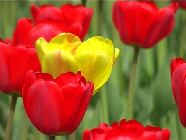 RED and Yellow Tulips in the spring