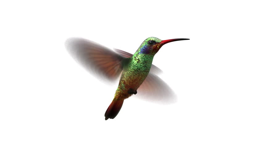 humming bird, looped 3d animation. alpha-matte (use curves for transparency settings)