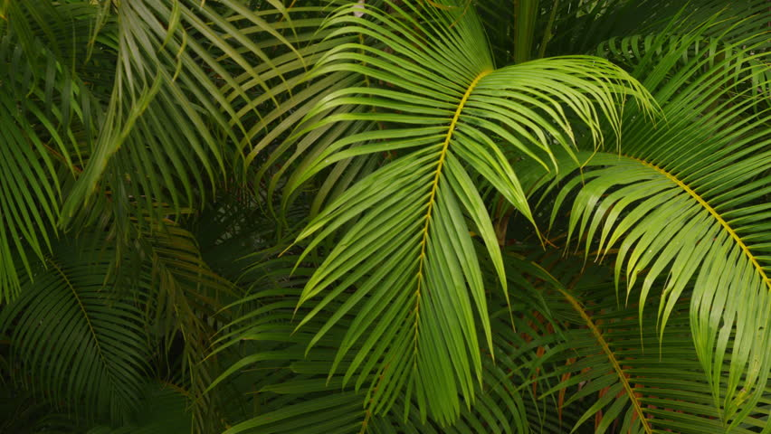 Tropical Palm Branches Costa Rica Stockvideoklipp Pa Helt Royaltyfria 5584670 Shutterstock Find the perfect tropical leaves stock photo. shutterstock