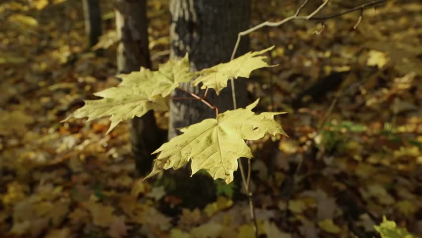 Maple sapling in an Ontario forest in autumn.