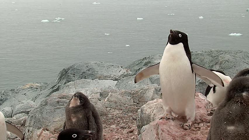 Penguin Adelie colony in Antartica