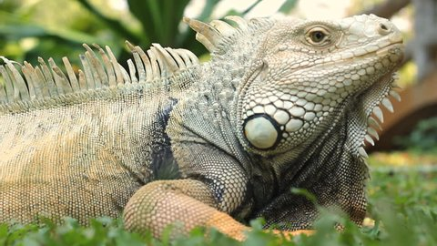Close up of Iguana head