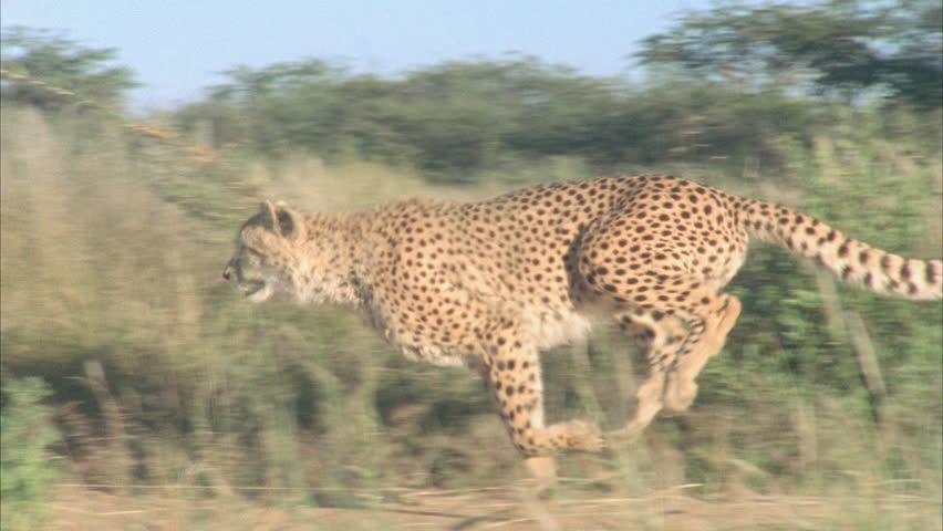 Cheetah running | Shutterstock HD Video #5724974