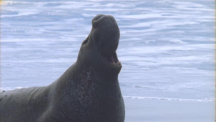 Elephant seal male roaring rest shots on beach   Shutterstock HD Video #5725223
