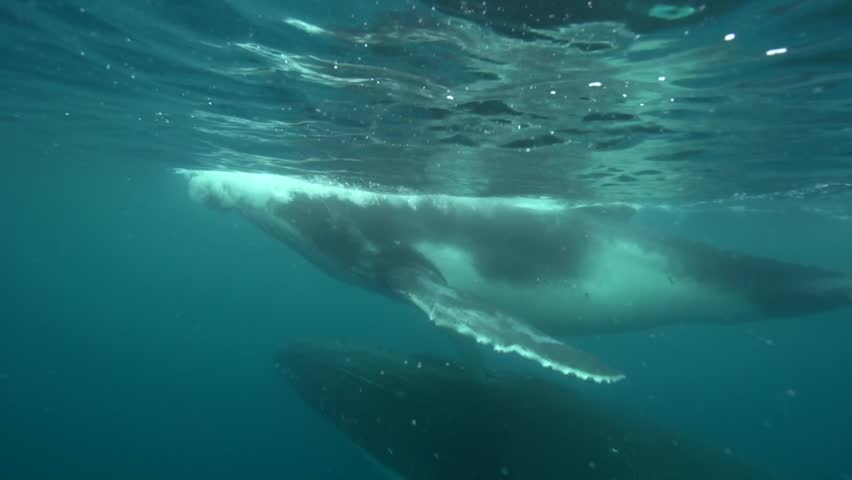 Humpback whales, mother and calf around tahiti, south pacific | Shutterstock HD Video #5729882