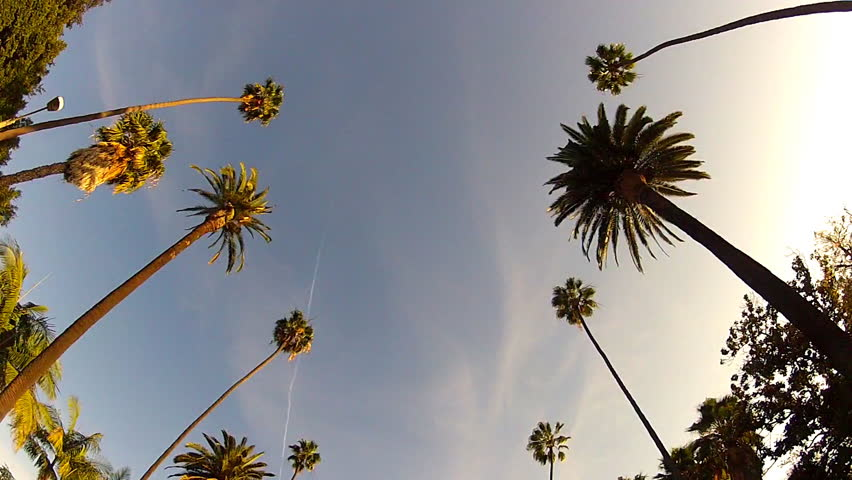 Wide shot of driving with camera looking up at iconic Beverly Hills, California palm trees, This clip features a view of the palm trees passing by under blue skies.   Shutterstock HD Video #5739440