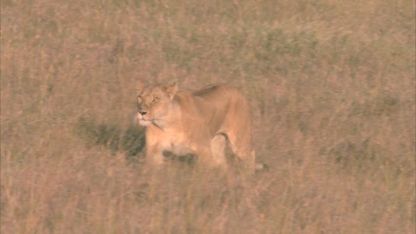 Lioness runs through grasslands | Shutterstock HD Video #5756435