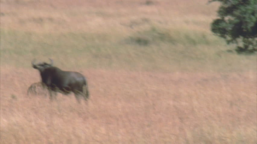 Hyena running through frame with kill, through wildebeest herd. | Shutterstock HD Video #5757548