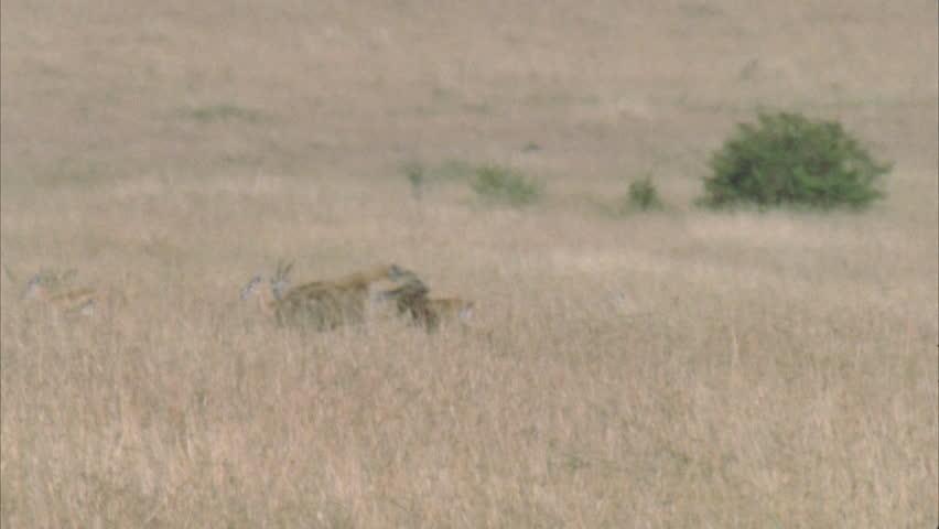 Hyena running through frame with kill, through wildebeest herd. | Shutterstock HD Video #5757593