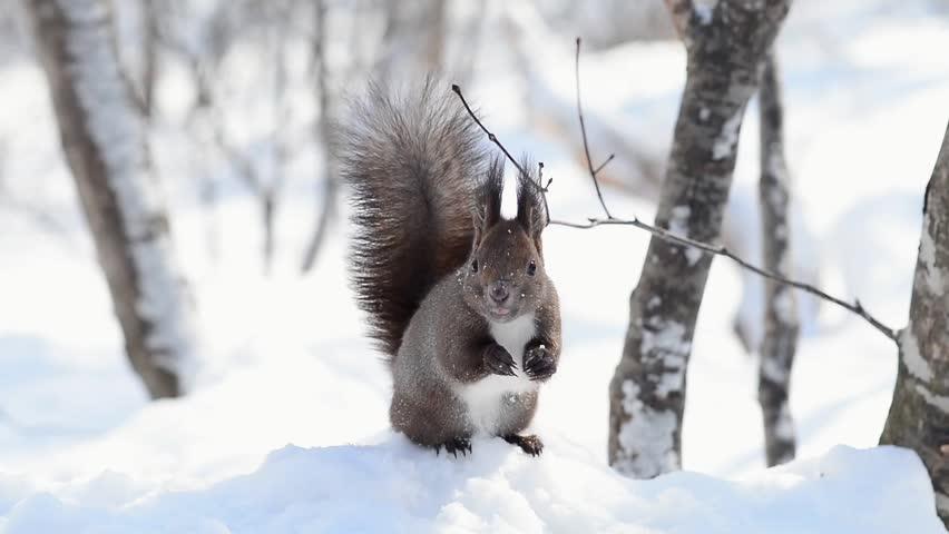 Hokkaido Squirrel in Winter Mountain #5770028