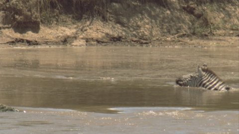 crocodile chases zebra across river. It strikes but the zebra gets away