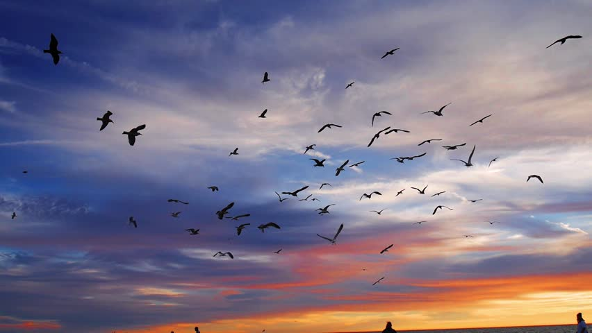 Flock of seagull birds flying in the air at sunset at a beach in Los Angeles, California. Slow motion.