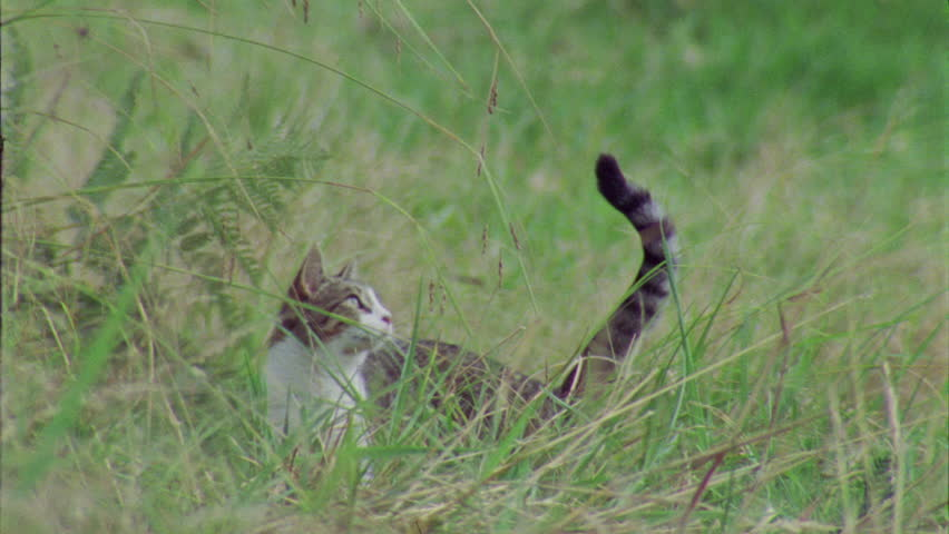 Slow motion of a Feral Cat jumping in the grass | Shutterstock HD Video #5844905