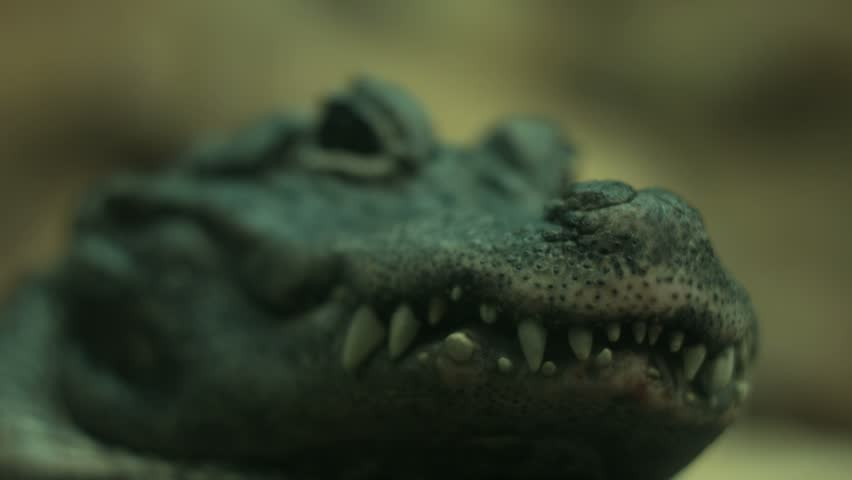 a close up of an aligator. i think it is a african dwarf aligator. you can see a gnat crawl across its eye.