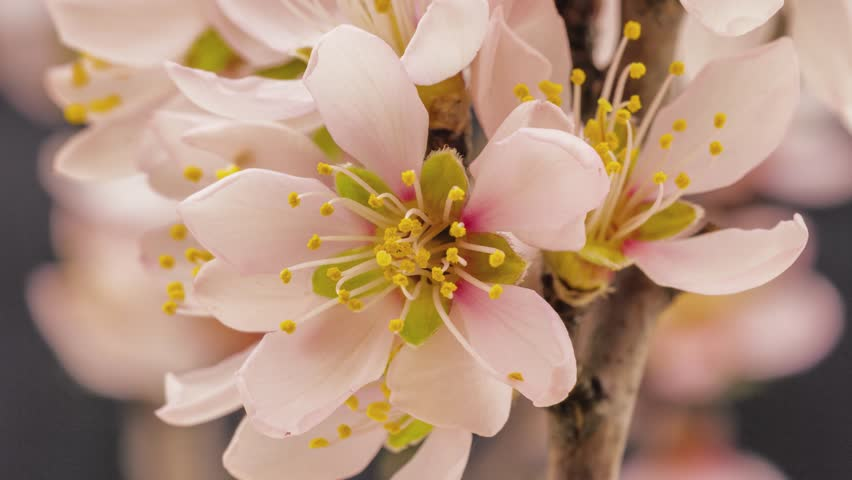 Apricot flower growing and blossoming on a dark background time lapse, 4k 25 fps time lapse video/Apricot flower blooming macro time lapse/Apricot time lapse #5871236