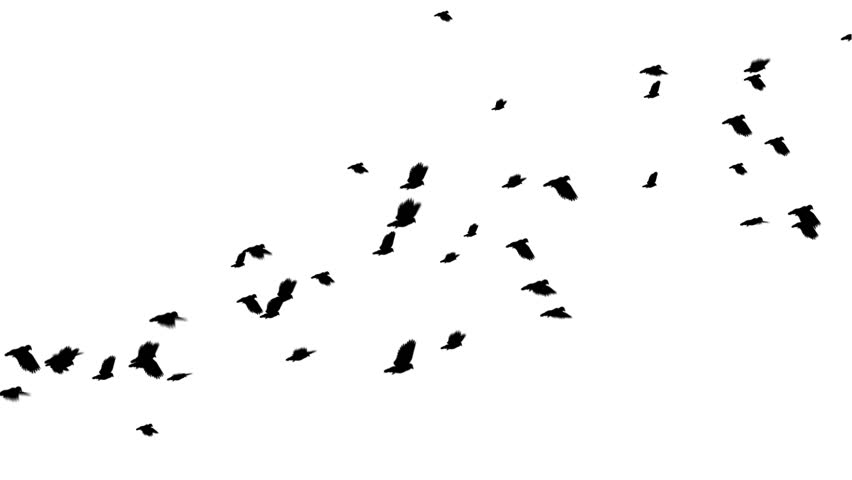 A large flock of pigeons flies from left to right. Seamless loop. Easy to silo/key over other footage or stills.
